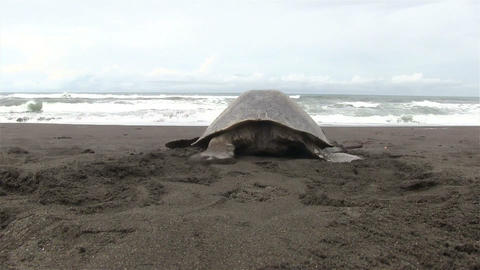 Olive Ridley sea turtle crawls back into the sea a Footage