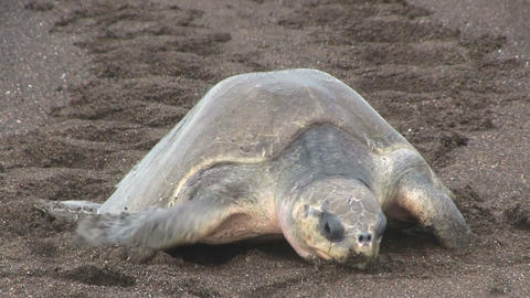 Olive Ridley sea turtles make their way up a beach Footage