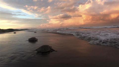 Olive Ridley sea turtles making their way en masse Footage