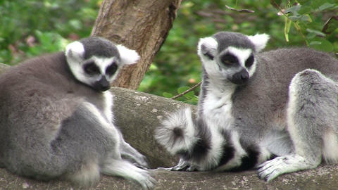 Ring tailed lemurs Footage