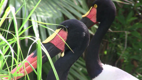 A saddle billed stork in close up Footage