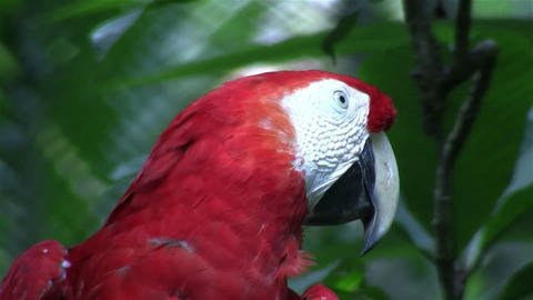 A scarlet macaw parrot sits on his perch Footage