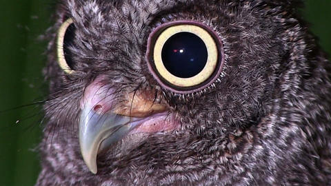 A screech owl looks with giant eyes Footage