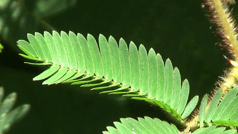 A touch sensitive plant in the jungle reacts to co Stock Video Footage