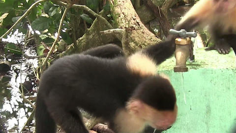 Two capuchin monkeys play around a water spigot Footage
