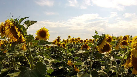Walk In The Field Of Sunflowers stock footage
