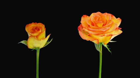 """Time-lapse of opening and dying """"Birdy"""" rose alpha matte 5d Stock Video Footage"""