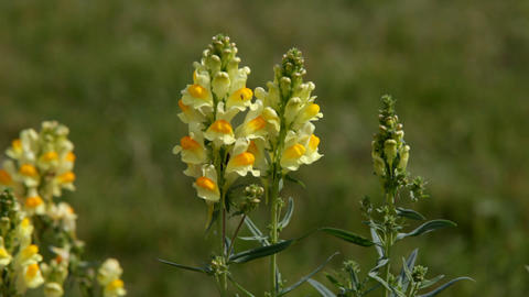 Antirrhinum majus and bumblebee fly out Stock Video Footage