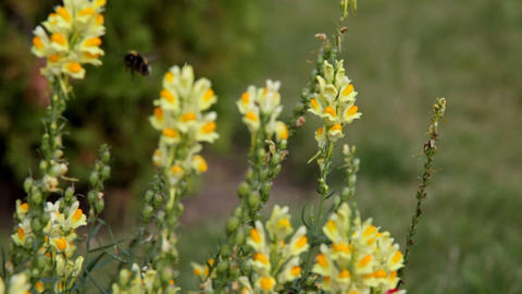 Focus on flower - Antirrhinum majus and bumblebee fly in Stock Video Footage