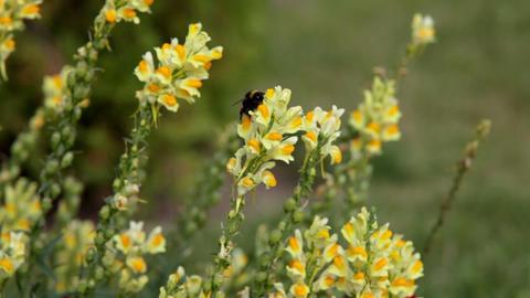 Focus on flower - Antirrhinum majus and bumblebee fly in Stock Video Footage
