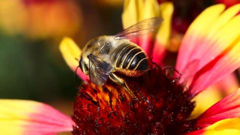 Working bee Stock Video Footage