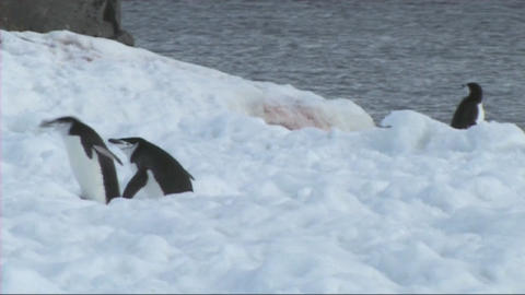 Chinstrap penguins Stock Video Footage