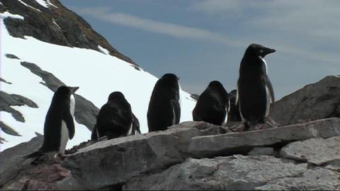 Adelie penguins Stock Video Footage