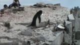 Adelie Penguin stock footage