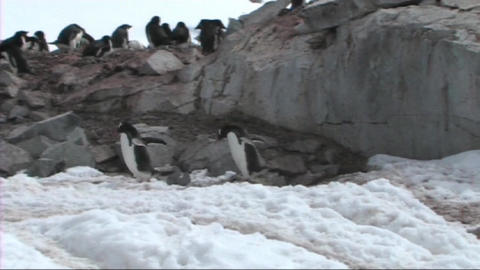 Gentoo penguins Stock Video Footage