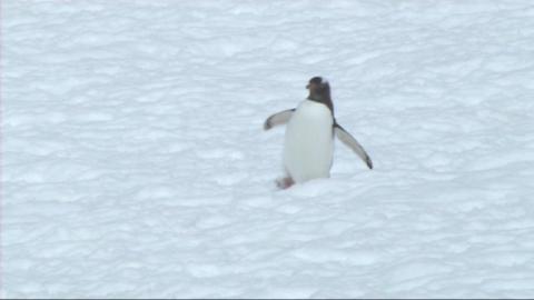 Gentoo penguin Stock Video Footage
