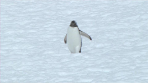 Gentoo penguin Footage