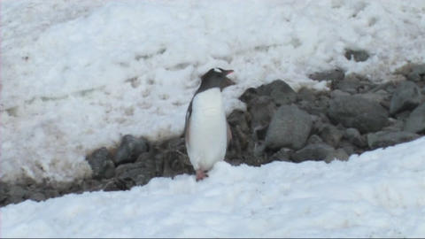 Gentoo penguins Stock Video Footage