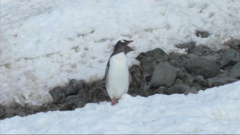 Gentoo penguins Footage