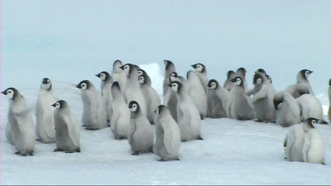 Emperor penguin chicks Footage