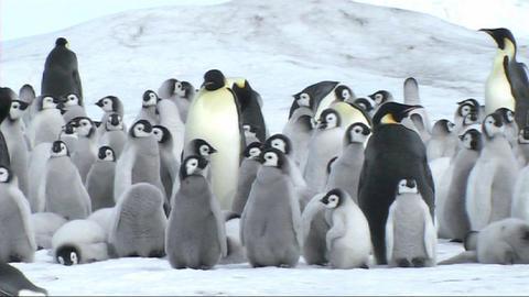 Emperor penguin chicks Stock Video Footage
