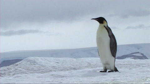Emperor penguin walking and sliding Stock Video Footage