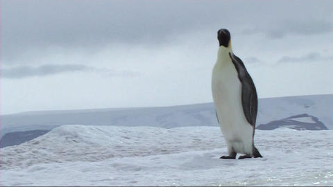 Emperor penguin walking and sliding Footage