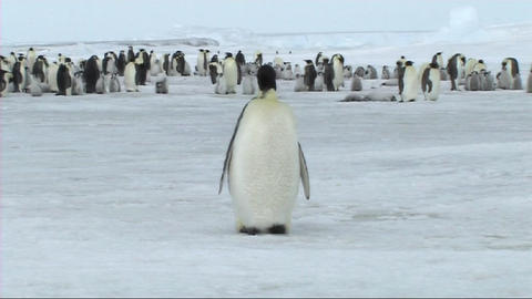 Emperor penguin preening Stock Video Footage