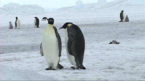 Emperor penguin chick resting Stock Video Footage