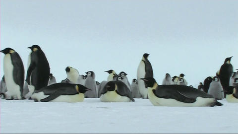 Emperor penguins resting Stock Video Footage