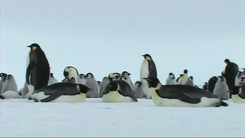Emperor penguins resting Live Action