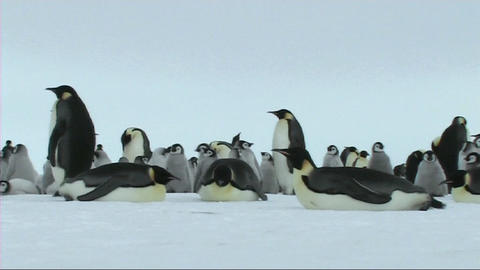 Emperor penguins resting Stock Video Footage