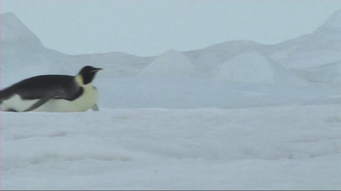 Emperor penguin sliding on the ice Footage