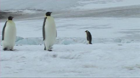 Emperor penguin walking Footage