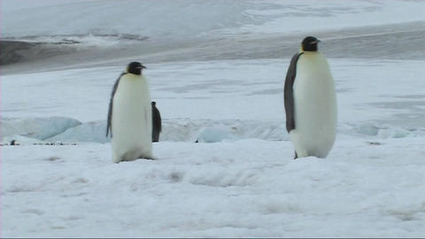 Emperor penguin walking Stock Video Footage