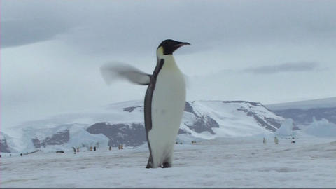Emperor penguin flapping flippers Footage