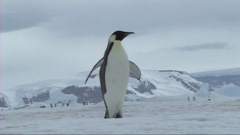 Emperor penguin flapping flippers Stock Video Footage