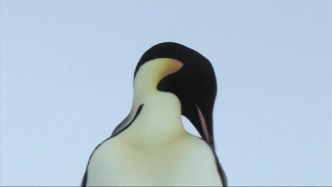 Emperor penguin preening Footage