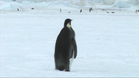 Emperor penuin looking around Stock Video Footage