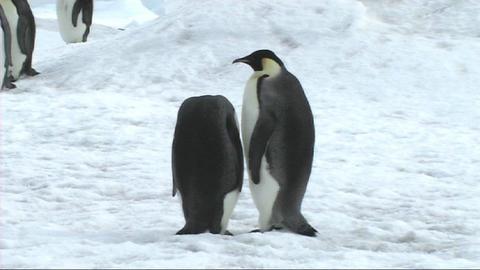 Two emperor penguins preening Stock Video Footage
