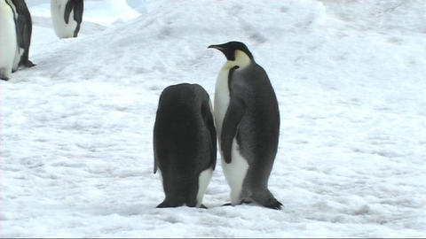 Two emperor penguins preening Footage