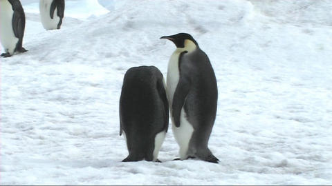 Two emperor penguins preening Stock Video Footage