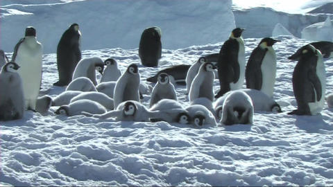 Emperor penguin at the colony Footage