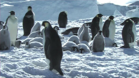 Emperor penguin at the colony Stock Video Footage