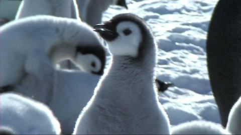 Emperor penguin chick Footage