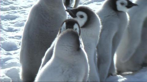 Emperor penguin chick Stock Video Footage