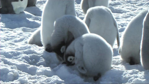 Emperor penguin chicks fighting Stock Video Footage