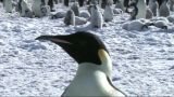 Close-up Of An Emperor Penguin stock footage