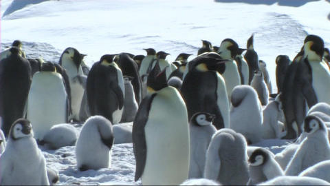 Emperor penguin colony Footage