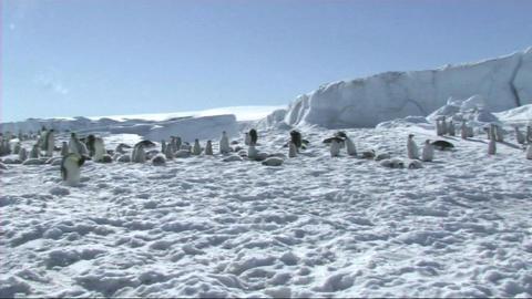 Emperor penguin colony Footage